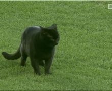 Menyusup saat Laga Everton Kontra Wolves, Kucing Hitam Ini Jadi Sorotan Dunia