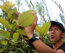 Foto Esai: Daun Tanaman yang Bisa Bikin Petani Kaya, Tapi Sayangnya..