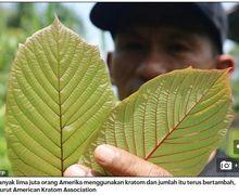 Kratom, Obat Ajaib dari Pedalaman Kalimantan yang Memiliki Efek Mirip Morfin, Kini Diekspor ke Seluruh Dunia
