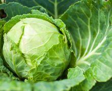 Stop Makan Sayur Kol Jika Punya Kondisi Ini! Efek Sampingnya Mematikan