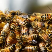 Berita Kesehatan: Tak Hanya Madu, Berikut 3 Produk dari Lebah yang Berkhasiat