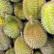 Supir Angkot Tewas dan Keluarkan Darah dari Hidung Usai Makan Durian, Ini Dampak Makan Durian Terlalu Banyak!