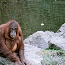 Lakukan 3 Hal Ini Saat Mengunjungi Orangutan untuk Mengisi Liburan