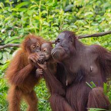 """Orangutan Dapat """"Membicarakan"""" Masa Lalu, Cari Tahu Caranya, Yuk!"""