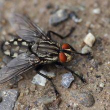Lalat Juga Bisa Insomnia, Ini Kebiasaan Lalat yang Mirip Manusia