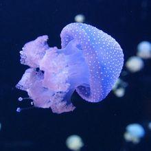 Berbeda dari Hewan Laut Lainnya, Ubur-Ubur Bukan Bernapas Menggunakan Insang