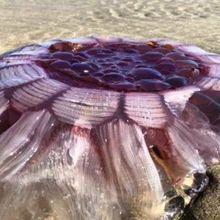 Makhluk Laut Seperti Alien Terdampar di Pesisir Pantai Selandia Baru