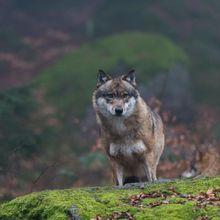 Wah, Untuk Pertama Kalinya Ada Serigala yang Keluar Dari Chernobyl