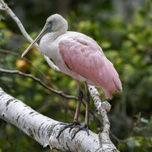 Seekor Burung Tropis Brazil Muncul di Utara Amerika, Ada Apakah?