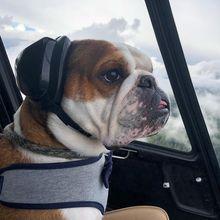 Mr. Bentley, Anjing yang Jadi Co-Pilot Helicopter