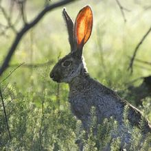Kelinci Bisa Mengetahui Keberadaan Predator Hanya dari Kotorannya, lo!
