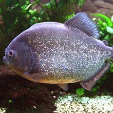 Bagaimana Cara Ikan Mengambil Udara di Dalam Air? Cari Tahu, Yuk!
