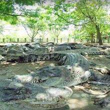 Di Tangerang, Ada Taman Buaya yang Memelihara 300 Ekor Buaya