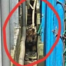 Harimau yang Sempat Terjebak di Lorong Ruko Pasar Sudah Diberi Nama