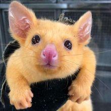 Posum Imut Berwarna Kuning di Australia Ini Mirip dengan Pikachu!
