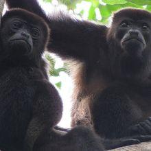 Warna Bulu Monyet Hitam di Kosta Rika Berubah Jadi Kuning, Kenapa, ya?