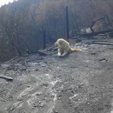 Mirip Kisah Hachiko, Anjing Ini Menunggu Keluarga dan Majikannya  di Rumah Yang Terbakar