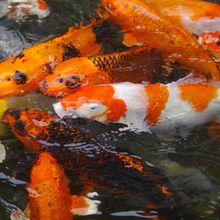 Inilah 5 Jenis Ikan Koi yang Sangat Populer, Kamu Suka yang Mana?