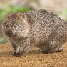 Wah, Wisatawan Pulau Ini Dilarang Memotret Wombat, Ada Apa, ya?