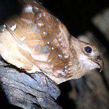 Burung Oilbird Punya Perilaku yang Sama dengan Kelelawar, lo!