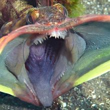 Wah, Ikan Ini Berubah Seperti Monster Saat Sedang Bertarung!