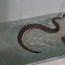 Kebun Binatang di Australia Buat Kolam Renang Khusus Reptil, untuk Apa?