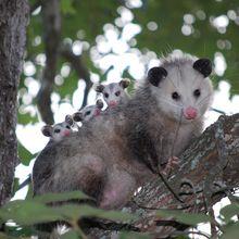 Opossum Mengantung di Pohon dengan Ekornya, Mitos atau Fakta?