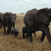 Gajah Punya Ingatan yang Hebat, Cari Tahu Kecerdasan Otak Gajah, yuk!
