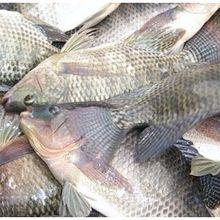 Banyak Diternak di Indonesia, Ikan Jenis Ini Ternyata Bahaya Bagi Kesehatan. Salah Satunya Picu Kanker!