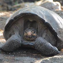 Setelah Lebih dari 1 Abad, Kura-Kura Raksasa Kembali Ditemukan di Galapagos