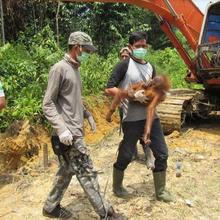 Anakan Orangutan Dievakuasi, Lokasinya Tidak Jauh dari Orangutan yang Ditembak 74 Peluru