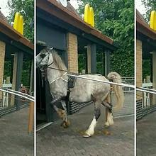 Ramai Foto Kuda Delman Terkapar Diduga Kelelahan, Inilah 7 Satwa yang Sering Dimanfaatkan untuk Membantu Manusia