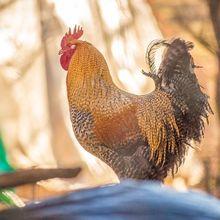 Bak Miliki Bom Waktu, Ini Wabah yang Ancam Pemilik Jika Pelihara Ayam di Rumah
