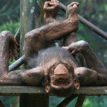 Siapa Sangka, Simpanse Juga Bisa Bermain Batu-Gunting-Kertas