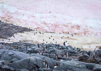 Salju Merah Muda di Greenland Terus Mencair, Kenapa Bisa Begitu?