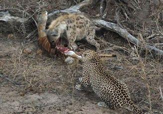 Peristiwa Unik, Hyena dan Macan Tutul Berbagi Mangsa Hasil Buruan