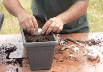 Yuk, Tanam Bawang Putih di Rumah Sendiri, Begini Cara-caranya!
