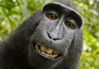 Monyet Asal Sulawesi Utara Menuntut Fotografer Atas Foto Selfie, Ini Putusan Hukumnya