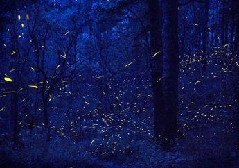 Akibat Polusi Cahaya dan Kerusakan Habitat,  Kunang-kunang Terancam Punah