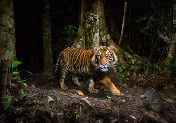 Pria Ini Nekat Berjibaku dengan Harimau Demi Selamatkan Istrinya
