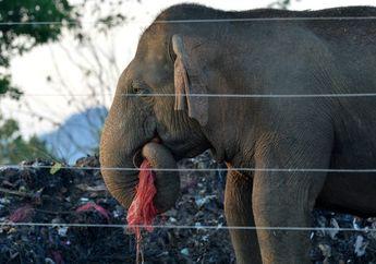 Warga Buang Sampah Sembarangan, Gajah Sri Lanka Sering Makan Plastik