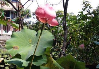 Walaupun Mirip, Bunga Seroja Ternyata Berbeda dari Bunga Teratai