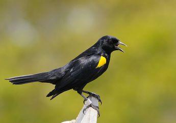 Ternyata, Kicauan Pendek dan Panjang pada Burung Punya Arti Berbeda