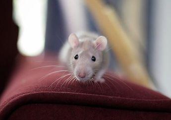 Tikus Got Suka Memburu Mencit, Beginilah Cara Mencit Menghindarinya
