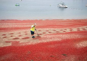 Video: Ketika Ribuan Kepiting Terdampar dan Membentuk 'Karpet Merah'