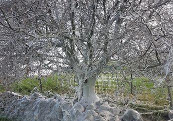 (Video) Gara-gara Ribuan Ulat Bersembunyi di Dalamnya, Pohon Ini Terlihat Seperti Berselimut Jaring