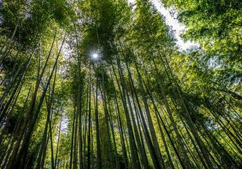 Mengunjungi Hutan Bambu Sagano di Jepang, Menyimak Kedamaian yang Hakiki