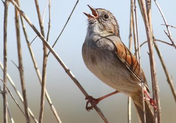 Burung Pipit Rawa Berkicau dengan Nada yang Sama Selama Seribu Tahun