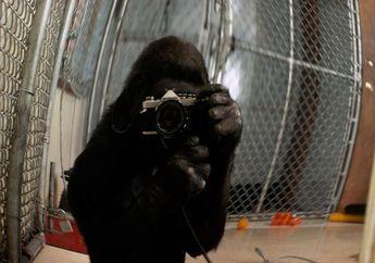 Koko, Gorila Jenius yang Mampu Berbahasa Isyarat, Mati di Usia ke-46