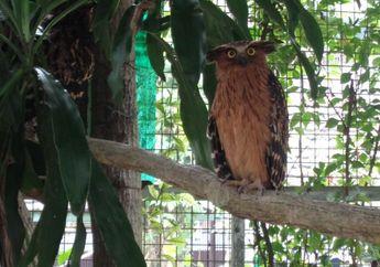 Burung Hantu Ketupu, Dapat Bertahan Tidak Tidur di Siang Hari